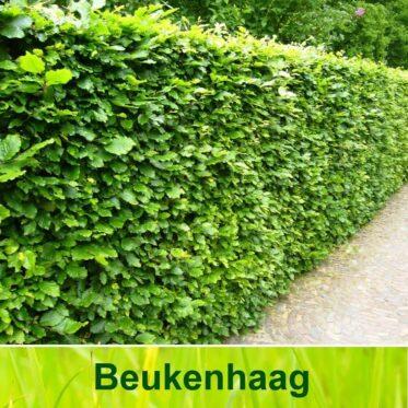 Beukenhaag (Fagus Sylvatica Groen)