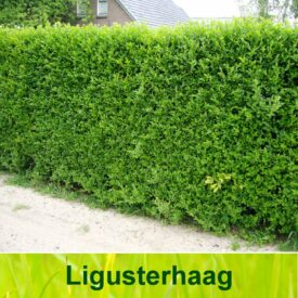 Ligusterhaag (Ligustrum Ovalifolium)