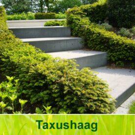 Taxushaag (Taxus Baccata)