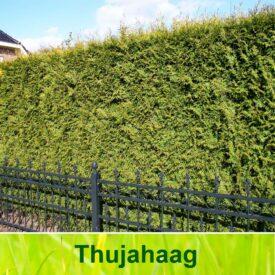Thuja haag / Thuja occidentalis Brabant