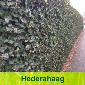 hedera haag (Hedera Hibernica)