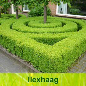 Ilex haag (Ilex crenata Green Hedge / Japanse hulst)