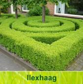 ilex haag kopen