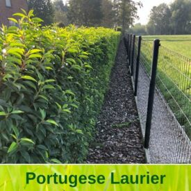 Portugese Laurier (Prunus Lusitanica Angustifolia)