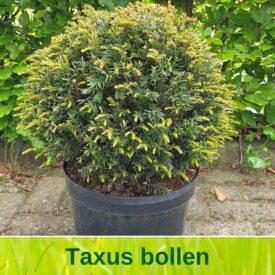 Taxus bol