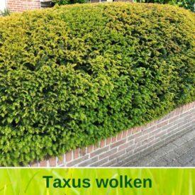 Taxus wolk