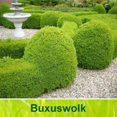 Buxuswolk