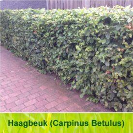 Haagbeuk / Carpinus Betulus