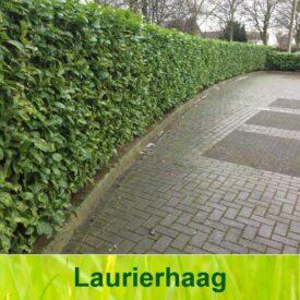 Laurierhaag (Prunus Laurocerasus Rotundifolia)