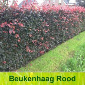 Rode beukenhaag / Fagus Sylvatica 'Atropunicea'