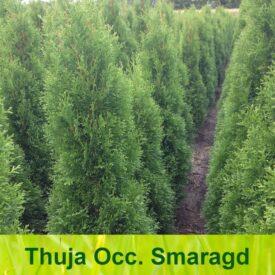 Thuja haag / Thuja occidentalis Smaragd