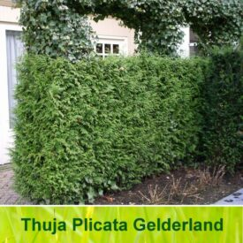 Thuja haag (Plicata Gelderland)