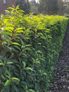 Portugese Laurier / Prunus Lusitanica Angustifolia - 20 - 30 cm kluit/pot, 6 planten p/meter