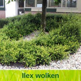 Ilex wolk