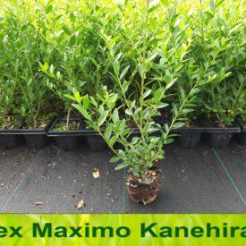 Ilex maximowicziana Kanehirae