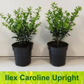 Ilex Crenata Caroline Upright
