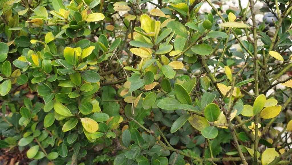 Ilex crenata wordt geel